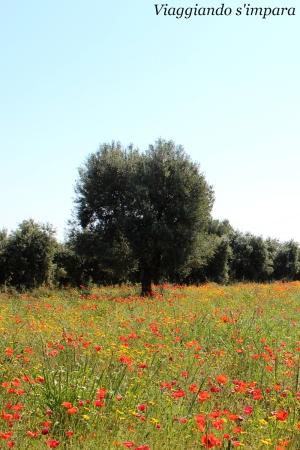 SpaccaMurgia, Puglia - ulivi